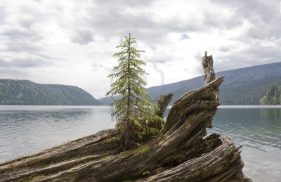 3723591-lonely-abeto-en-driftwood--clearwater-lago-wells-gris-provincial-park-british-columbia-canada
